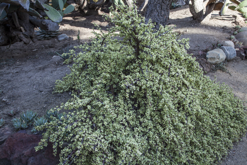 Succulent Shrub with Numerous, Tiny Leaves