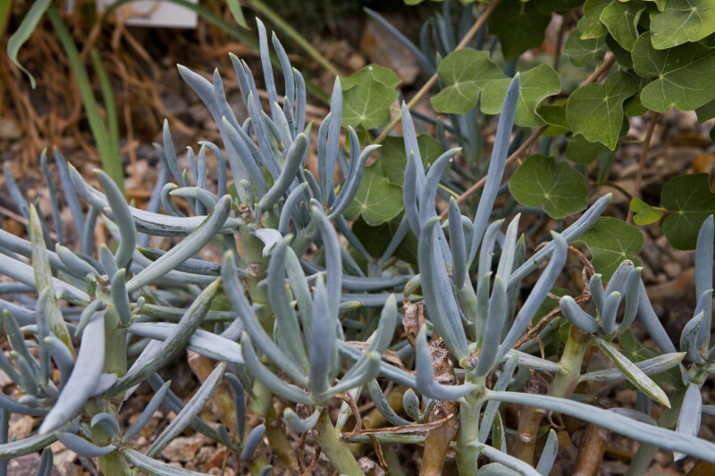 Succulent Stems and Leaves
