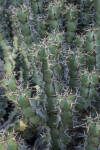 Succulent with Numerous, Two-Pronged Prickles