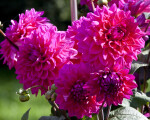 """Suffolk Punch"" Dahlias"