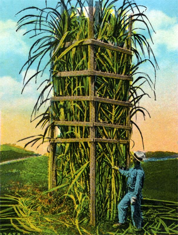 Sugar Cane Rack
