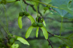 Sugar Maple Fruits