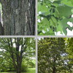 Sugar Maple Trees photographs
