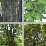 Sugar Maple Trees photographs