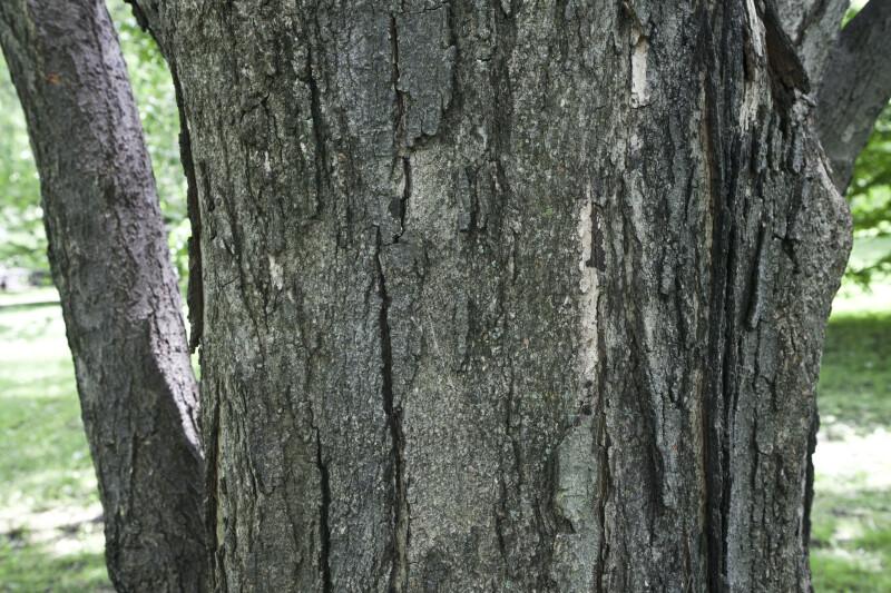 Sugar Maple Trunk