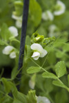 Sugar Sprint Pea Blossoms