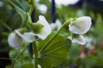 Sugar Sprint Pea Plant