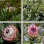 Sugarbushes photographs