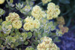 Sulphur Flower Close-Up