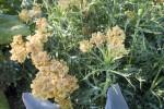 Sulphur Flower Clusters