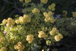 Sulphur Flowers