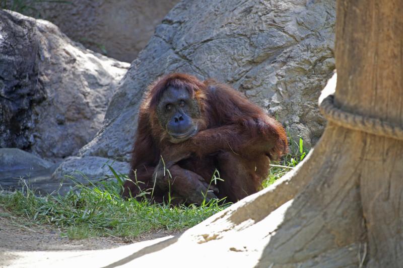 Sumatran Orangutan Sitting with Chin Rested on Hand