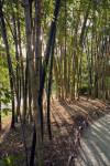 Sun and Bamboo