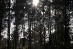 Sun and Pine Trees