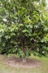 Sun Sapote Tree