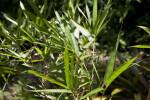 Sunburst Bamboo