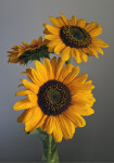 Sunflower Flower Heads