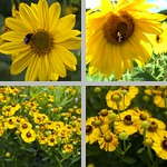 Sunflowers photographs