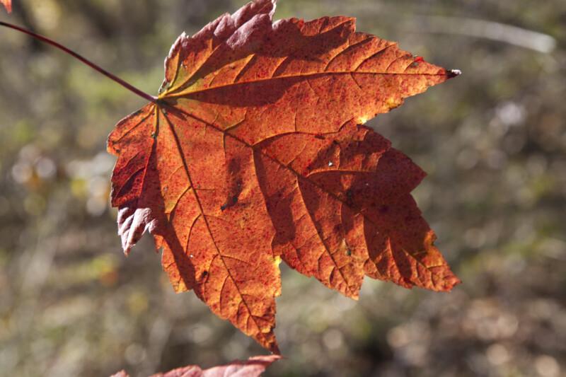 Sunlit Maple Leaf at Evergreen Park