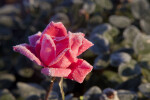 Sunlit Pink Rose Flower Lightly Covered in Frost