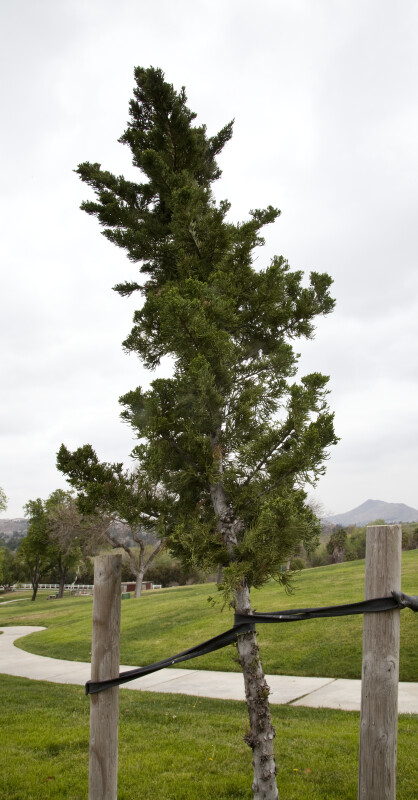 Supported Chinese Juniper at Martha McLean – Anza Narrows Park