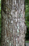 Swamp Chestnut Oak Bark
