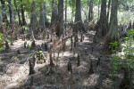 Swamp Cypress and Cypress Knees at Chinsegut Wildlife and Environmental Area