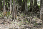 Swamp Cypress Trees with Cypress Knees and Branches