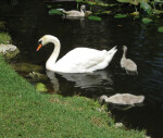Swan and Three Cygnets
