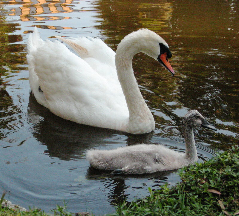 Swan Following Cygnet