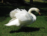 Swan with Wings Spread