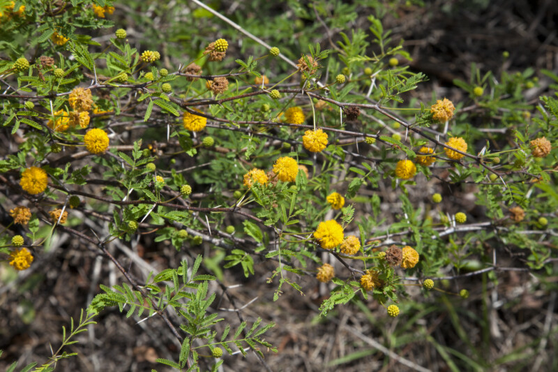 Sweet Acacia Branches with Yellow, Puffball Flowers
