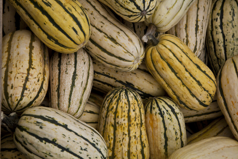 Sweet Potato Squash with Longitudinal Green Stripes