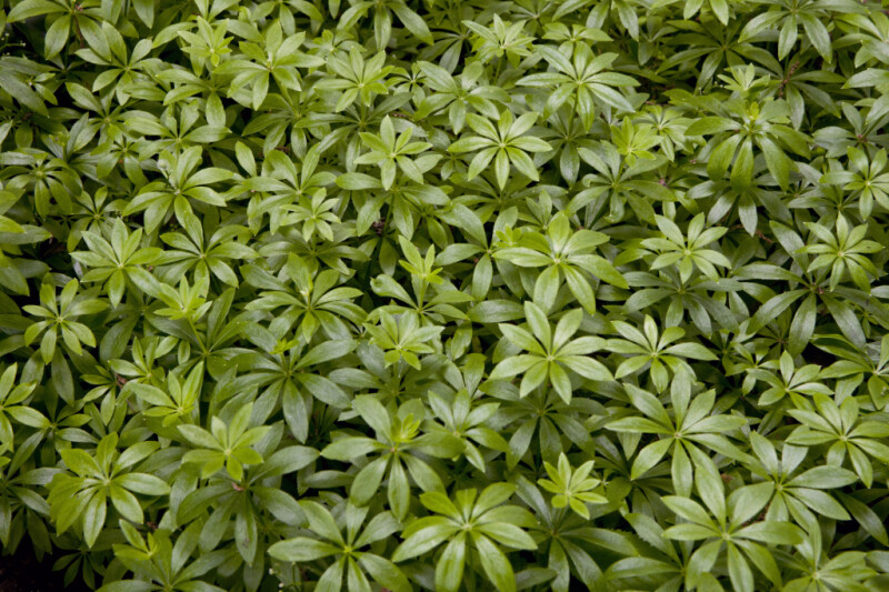 Sweet Woodruff Leaves Arranged in Whorls