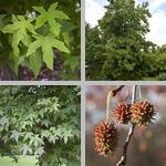 Sweetgum Trees photographs