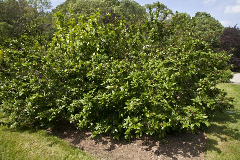 Sweetshrub at the Arnold Arboretum of Harvard University