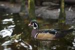 Swimming Duck at The Florida Aquarium