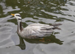 Swimming Duck With Head Up