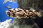 Swimming Long-Spine Porcupine Fish at The Florida Aquarium