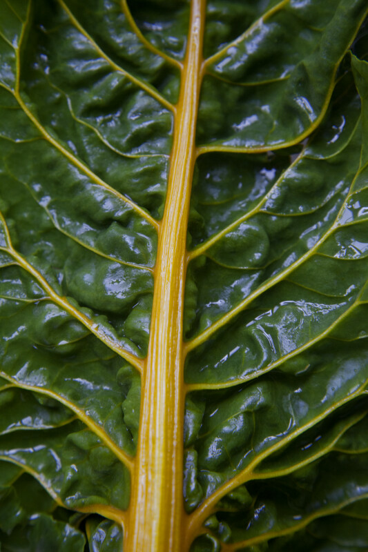 Swiss Chard Leaf with a Golden Stalk and Veins