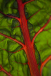 Swiss Chard Leaf with Red Stalks and Veins