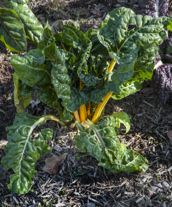 Swiss Chard Plant with Yellow Stalks