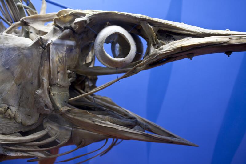Swordfish Skull