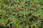 Tagetes patula Plant