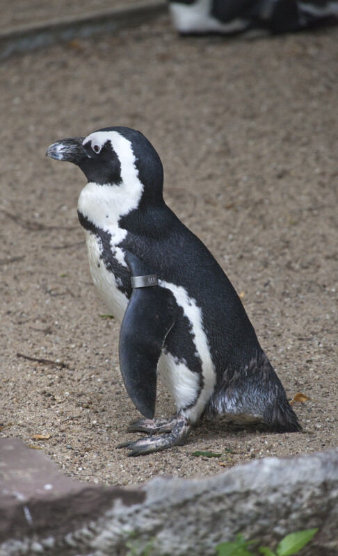 Tagged Black and White Penguin Standing in Dirt