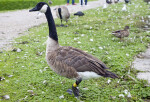 Tagged Goose