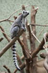 Tail of Ring-Tailed Lemur