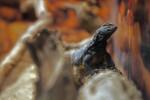 Tailed-Tailed Lizard (Uromastyx mali)