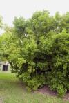 Talisia Tree