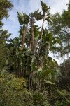 Tall Banana Trees at the Rancho Los Alamitos Historic Ranch and Gardens